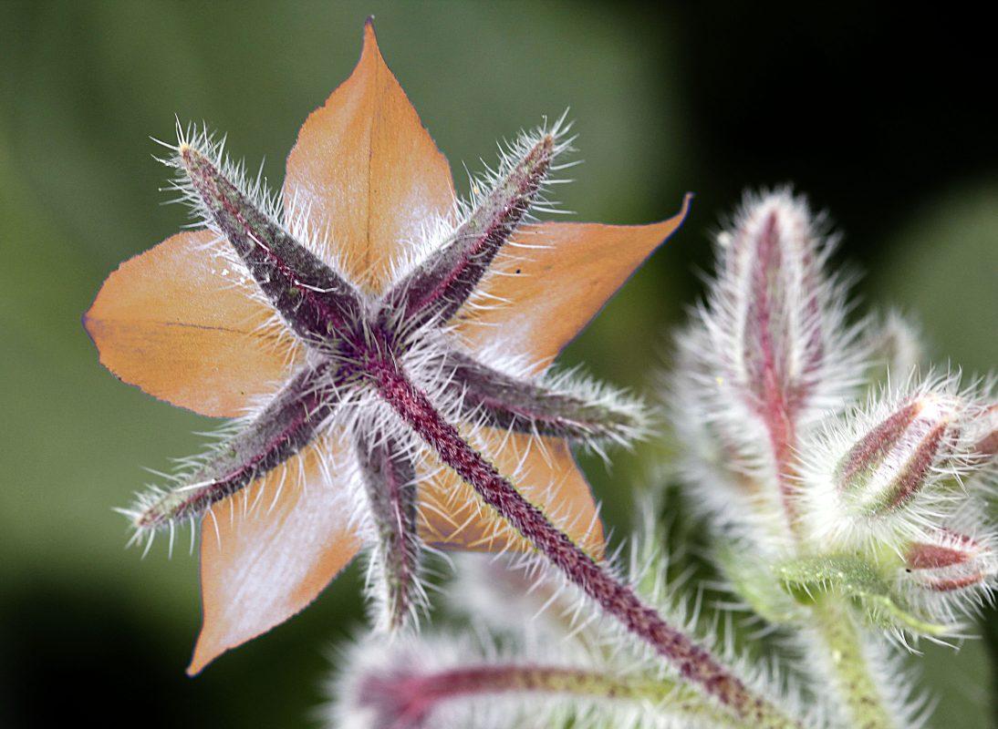 Fleur poilue